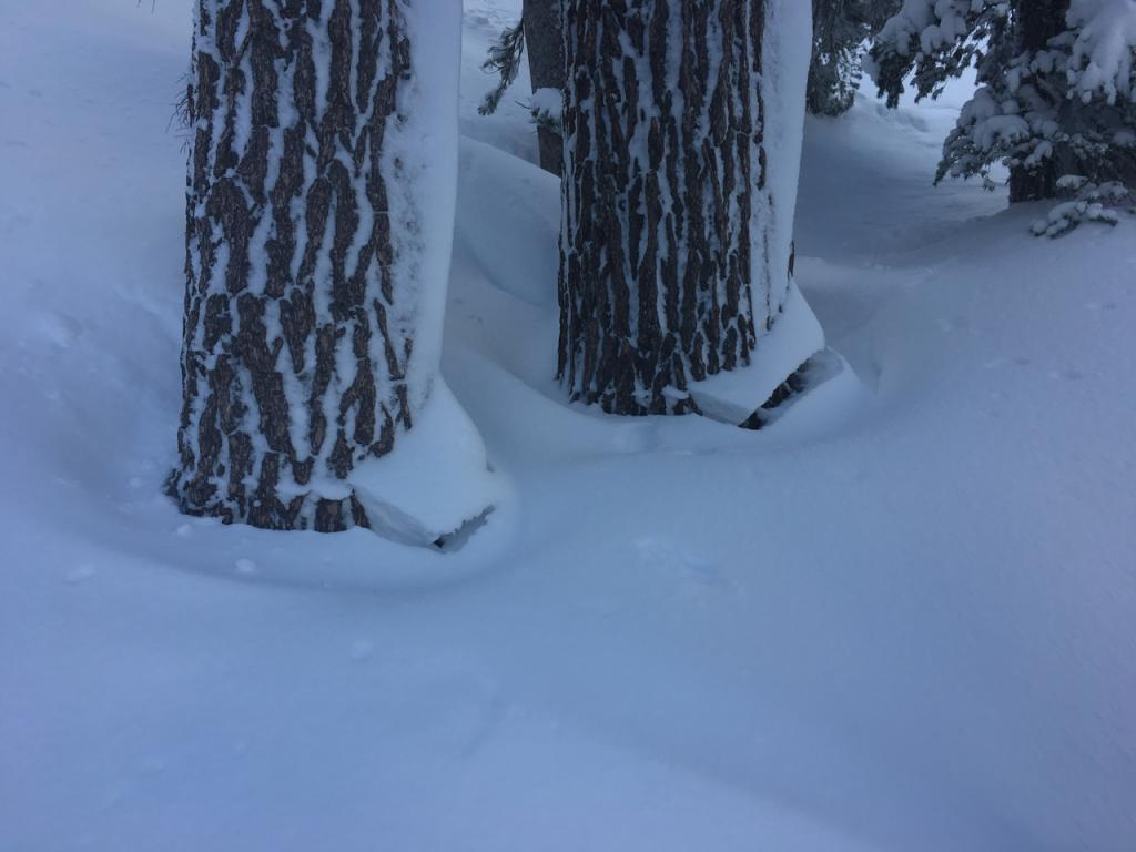 """A few trees displayed evidence of <a href=""""https://www.sierraavalanchecenter.org/avalanche-terms/settlement"""" title=""""The slow, deformation and densification of snow under the influence of gravity. Not to be confused with collasping"""" class=""""lexicon-term"""">settlement</a>, but most did not."""