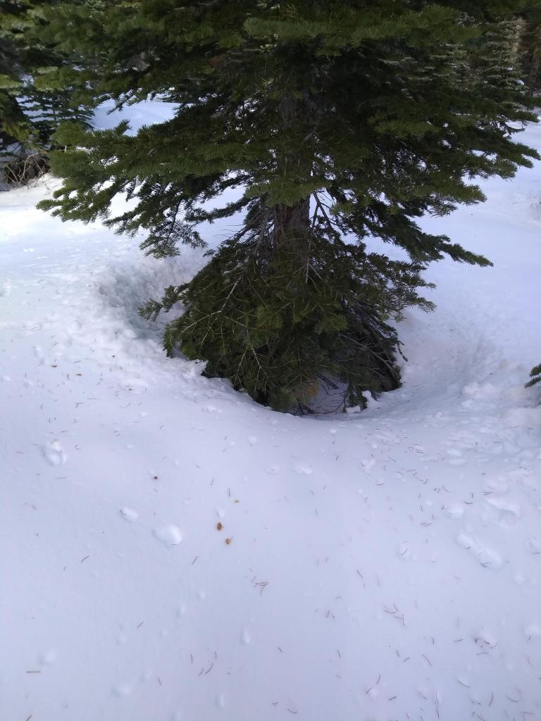 Established tree well hazard if the forecasted 1-2+ feet of new snow verifies.