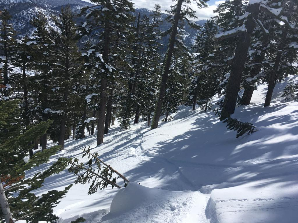 """Impressive tree flagging from previous <a href=""""https://www.sierraavalanchecenter.org/avalanche-terms/avalanche"""" title=""""A mass of snow sliding, tumbling, or flowing down an inclined surface."""" class=""""lexicon-term"""">slide</a> activity."""