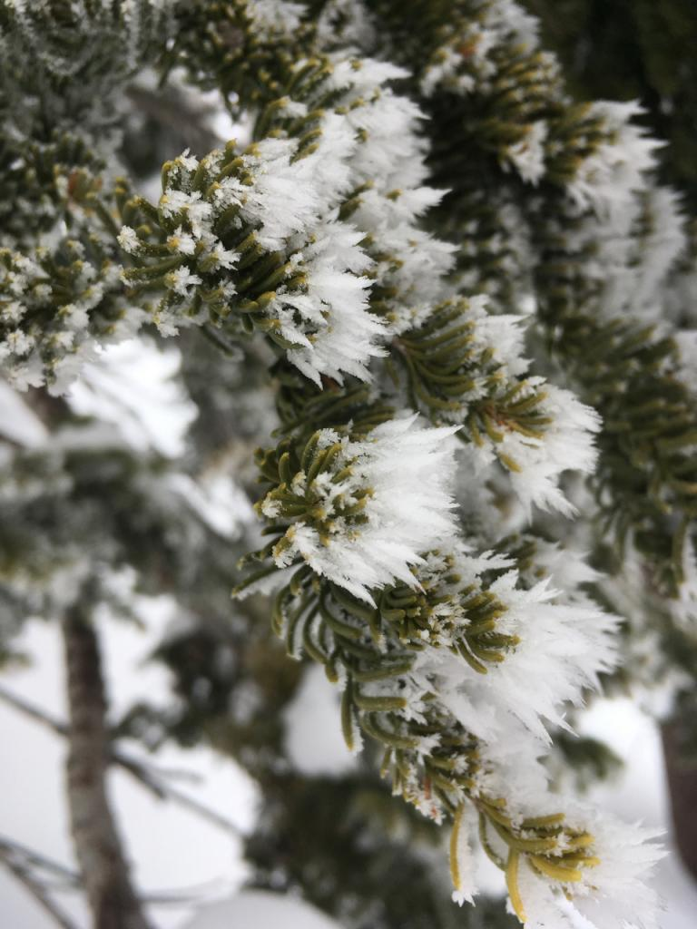 """Lightly <a href=""""https://www.sierraavalanchecenter.org/avalanche-terms/rime"""" title=""""Supercooled water droplets that freeze to objects in exposed terrain, forming icy deposits on the windward side. Rime can also form on snowflakes as they fall through the sky, giving them a fuzzy appearence."""" class=""""lexicon-term"""">rimed</a> trees near Maggies ridge"""