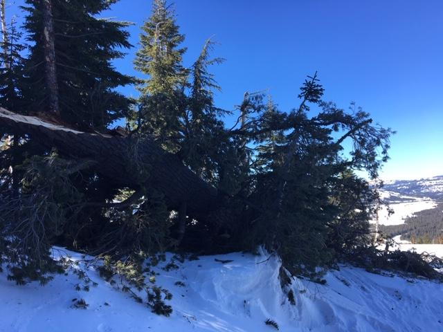 Large downed tree from the NE wind event yesterday.